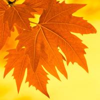 枫叶图片微信头像唯美