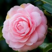 微信山茶花唯美头像图片 一朵唯美的山茶花头像