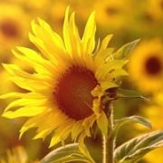 唯美向日葵微信头像 超好看的唯美向日葵头像图片大全