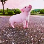 猪照片大全可爱头像 高清漂亮猪的图片可爱头像精选