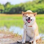 柴犬头像高清头像图片 高清可爱的柴犬狗头像图片