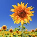 蓝天下的向日葵头像图片