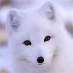 白狐狸图片头像大全,高清白狐的图片头像