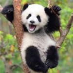 熊猫宝宝真实图片头像大全,超可爱超萌的熊猫真实图片头像