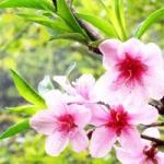 桃花头像图片大全,关于桃花的风景图片头像