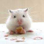 微信小仓鼠头像 超萌可爱的微信仓鼠头像图片