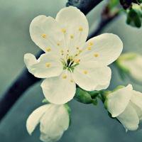 桃花头像图片