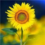 向阳花头像图片大全,高清漂亮的唯美意境向阳花头像