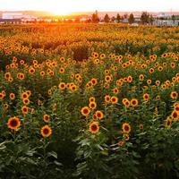 小清新向日葵头像唯美图片