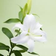 百合花头像图片大全 漂亮好看的百合花头像唯美图片