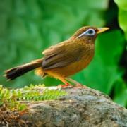 极品画眉鸟图片头像大全,鸣声婉转动听的极品画眉鸟