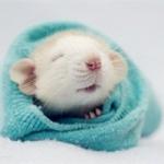 微信老鼠头像图片 超萌可爱的老鼠图片头像