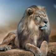 狮子头像图片霸气 真实狮子头像图片霸气图片精选
