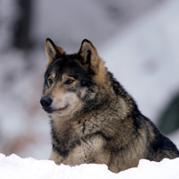 霸气十足冷酷的狼头像图片