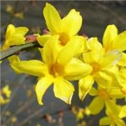 微信迎春花头像图片大全 唯美漂亮的迎春花图片头像