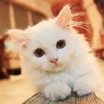 QQ呆萌小猫头像图片 可爱呆萌呆萌的小猫头像