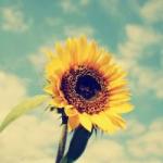 美丽的向日葵头像图片