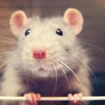 超萌可爱小老鼠 可爱萌萌的小老鼠头像图片