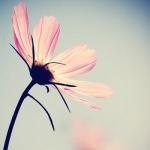 一朵花图片头像 高清清新的一朵花头像图片