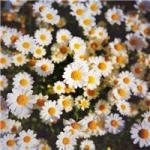 菊花头像图片大全唯美