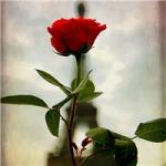 红色玫瑰花微信头像 唯美好看的带有红玫瑰头像图片