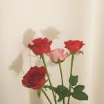 玫瑰头像图片大全 高清唯美的玫瑰花头像图片