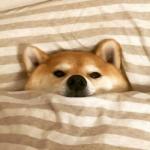 柴犬的照片可爱头像 在床上睡觉的可爱柴犬