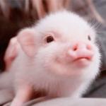 宠物猪头像图片大全可爱 超萌的真猪头像图片
