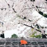 微信头像风景樱花 超清唯美的樱花美丽头像图片