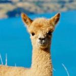 羊驼微信头像萌图 超清清新的超可爱羊驼图片头像