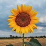 高清好看的向日葵图片头像,唯美阳光适合微信头像向日葵花