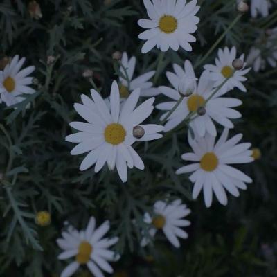 微信菊花头像