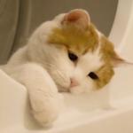 丧脸猫头像 高清可爱的丧萌猫图片头像