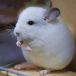 呆萌动物头像 高清可爱超萌的圆滚滚小动物头像图片