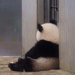 熊猫背影头像 高清坐着的可爱熊猫背影头像图片