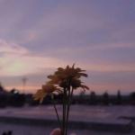 高清静物花唯美头像图片