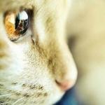 猫咪眼睛头像图片大全 猫咪的眼睛会发光