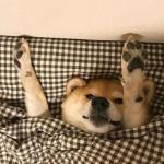 柴犬头像可爱 被窝里面高清可爱的柴犬狗头像图片