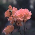 唯美花朵意境图片头像 高清好看的意境花朵头像图片大全