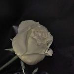 暗色花图片头像 高清黑色的暗色调花朵图片头像