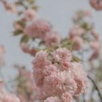 微信粉色花头像图片 高清清新的浅粉色花头像