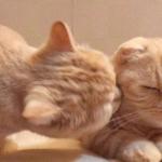 猫咪亲吻情侣头像 还有一对可爱猫咪情头图片