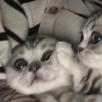 情侣小猫头像图片大全,高清可爱的萌猫头像情侣图片