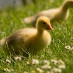微信可爱鸭子头像,高清清新可爱鸭子图片头像