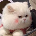 网红球球猫咪头像,最火抖音里的网红猫咪球球图片头像