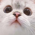 猫咪控头像 只露脸和眼睛的可爱猫咪合集