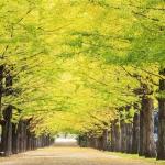 微信头像风景银杏树 高清唯美的银杏微信头像秋天风景图片