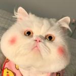 可爱胖猫咪头像 高清适合做头像的搞怪猫咪胖猫咪