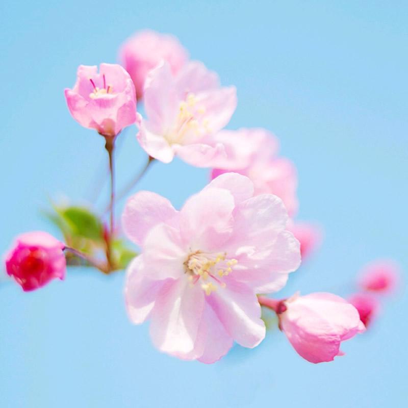 清新粉色花朵头像图片